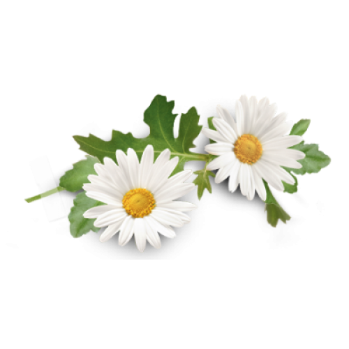 Camomile Essential Oil